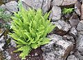 Athyrium distentifolium americanum (Alpine Lady-fern) (7993253369).jpg