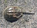 Atlantic horseshoe crab (Limulus polyphemus).jpg