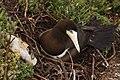 Atobá (Sula leucogaster) nãe e filhote expulso do ninho nas ilhas Moleques do Sul, sul do Brasil.jpg