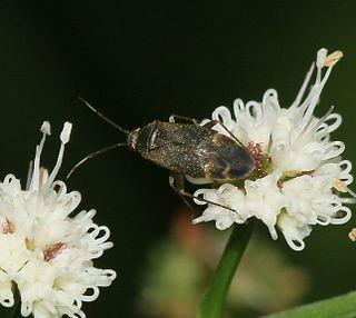 <i>Atractotomus magnicornis</i> Species of true bug