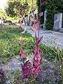 Atriplex hortensis sl3.jpg