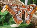 Attacus atlas-botanical-garden-of-bern 15.jpg