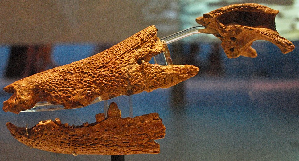 August 1, 2012 - Hamadasuchus rebouli Skull on Display at the Royal Ontario Museum (ROM 52620)