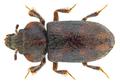 Augyles maritimus (Guérin-Méneville, 1844) Syn.- Heterocerus maritimus (Guérin-Méneville, 1844) (21947811964).png
