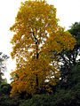 Autumn Gold at Westonbirt - geograph.org.uk - 69587.jpg