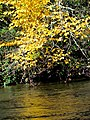 Autumn Leaves South Toe River Celo Camp NC 4269 (37947590011).jpg