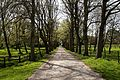 Avenue of trees Magdalen Laver Essex England.jpg