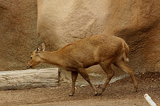 Calamian deer species of mammal