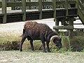 Bélier (Rams) (2).jpg