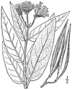 BB-3389 Asclepias pulchra.png