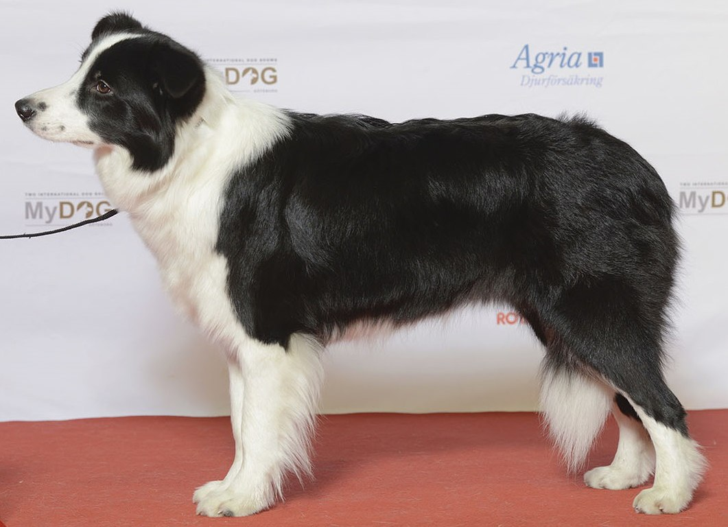 Border Collie - The complete information and online sale