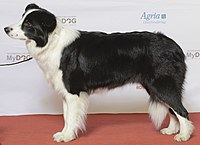BORDER COLLIE, Simaro Million Dollar Baby (24290879465) 2.jpg