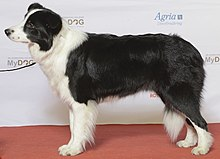 512091f3c19cf7 (sometimes confused with the related Welsh Sheepdog)