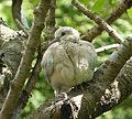 Baby Collared Dove - Flickr - gailhampshire.jpg