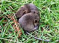 Baby bank voles - Flickr - gailhampshire.jpg