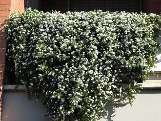 Sutera (plant) - a sutera cordata plant on a balcony