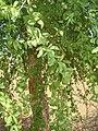 Balanites roxburghii1.JPG