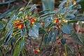 Balsaminaceae - Impatiens niamniamesnsis GILG. Kongo-Lieschen aus dem tropischen Afrika im Botanischen Garten Graz.jpg
