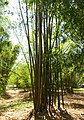 Bambusa oldhamii - Fruit and Spice Park - Homestead, Florida - DSC09101.jpg