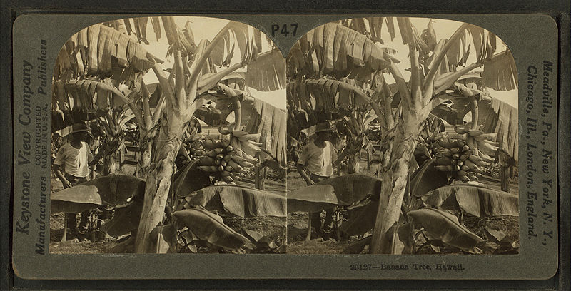 File:Banana trees, Hawaii, by Keystone View Company.jpg