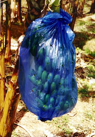 Banana - Banana bunches are sometimes encased in plastic bags for protection. The bags may be coated with pesticides.