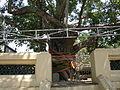 Banian sacré au Phra Pathom Chedi.JPG