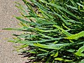 BanksiaNivea sspUliginosa PerthBG-20171224.jpg