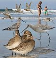 Bar-tailed Godwit From The Crossley ID Guide Eastern Birds.jpg