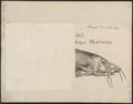 Barbus vulgaris - 1700-1880 - Print - Iconographia Zoologica - Special Collections University of Amsterdam - UBA01 IZ15000099.tif