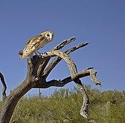 Barn Owl, Arizona.jpg