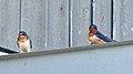 Barn Swallows (Hirundo rustica) - Norfolk County, Ontario 2019-06-09 (03).jpg