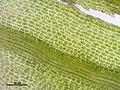 Bartramia pomiformis (c, 145315-481415) 8313.JPG