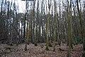 Battle Wood - geograph.org.uk - 1726818.jpg