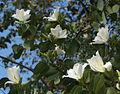 Bauhinia variegata 01348.jpg