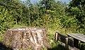 Baumstumpf Linde Gnadenwald.jpg