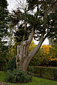 Beale Arboretum pine West Lodge Park - Hadley Wood Enfield London 2.jpg