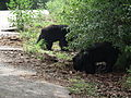 Bear - Melursus ursinus at Bannerghatta National Park 8459.JPG