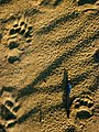 Bear Prints In Sand.jpg