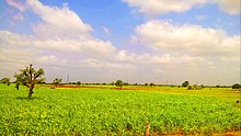 Beautiful Summer fields of Panoli, Gujarat, India.jpg