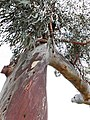 Beautiful red bark gum.jpg
