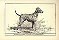 Bedlington Terrier BDL.jpg