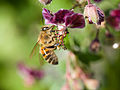Bee gathering nectar (14117808765).jpg