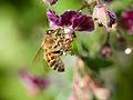 Bee gathering nectar (14117808765).jpg
