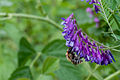 Bee on purple flower (6314834582).jpg