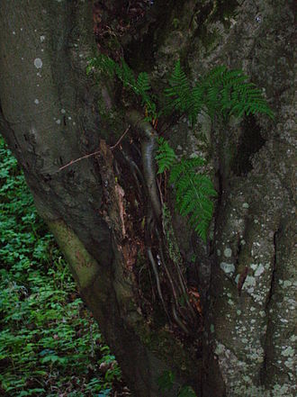 Beech - European beech with unusual aerial roots in a wet Scottish glen: The tree also sports an epiphytic fern.