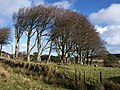 Beech trees near Powder Mills - geograph.org.uk - 1590731.jpg