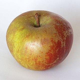 Belle de Boskoop apple cultivar