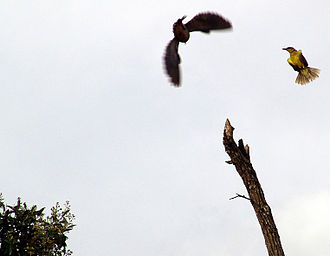 Mobbing (animal behavior) - A great kiskadee (right) mobs a hawk.