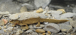 Newt - The Pyrenean brook newt lives in small streams in the Pyrenees mountains.