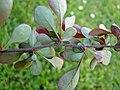 Berberis vulgaris Zweig.jpg